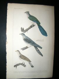 Cuvier C1835 Antique Hand Col Bird Print. Couas, Common Cuckoo, The Bill, 11
